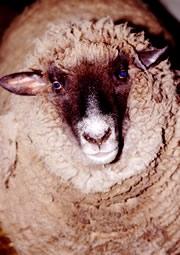 SheepTrax