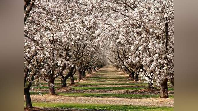 image for Californians Sick Of Producing Nation's Almonds