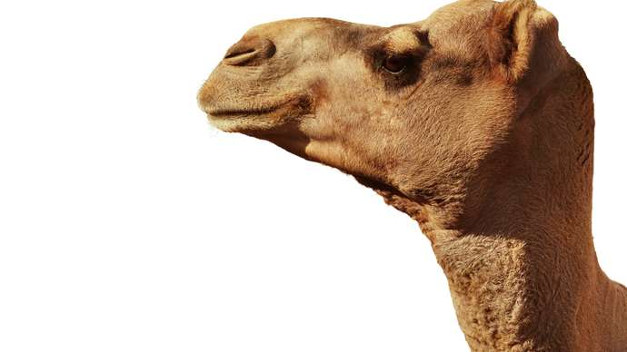 image for Congresswoman Omar Wakes Up To A Camel's Head In Her Bed