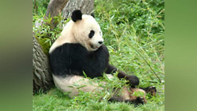 image for Bao Bao the Bear is exiled to China!