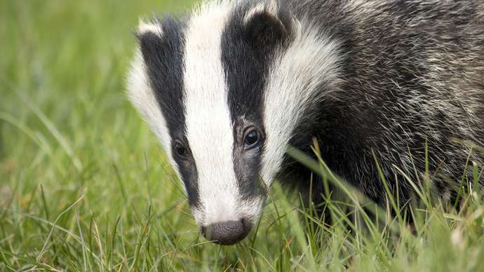 image for Tim the Forgetful Badger