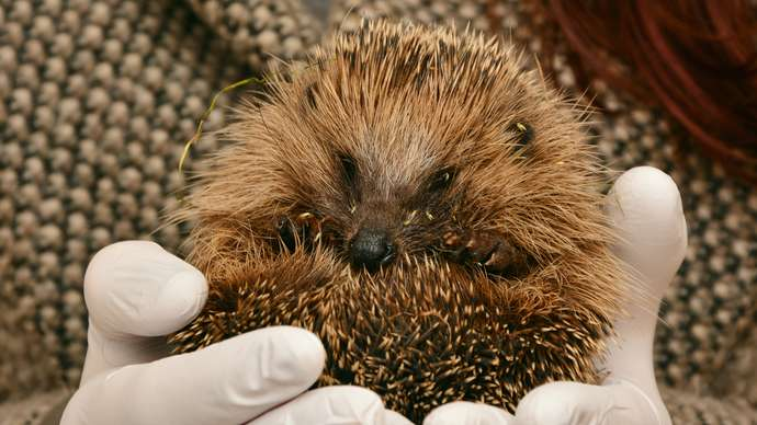 image for Steven The Blind Hedgehog Is Safe And Well, And Planning For The Future
