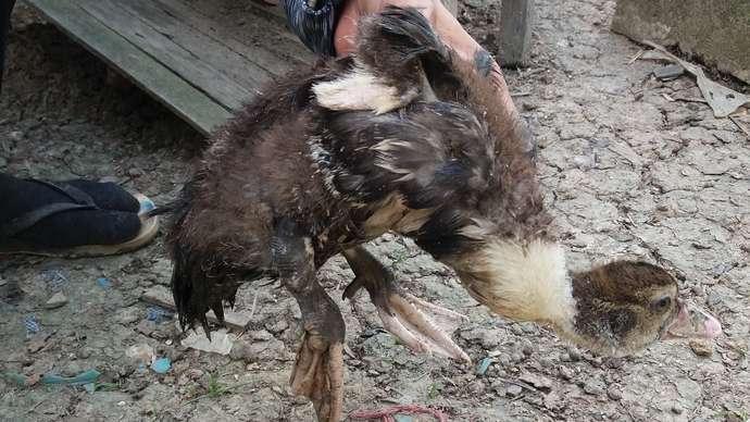 image for Cockerel Broke Duckling's Legs, So Man Dealt With It