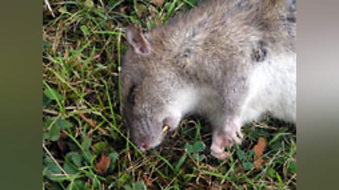 image for White House rose garden rodent spotted stalking Spoof special relationship meet-up