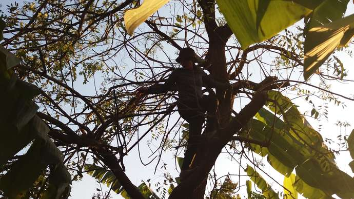 image for Man's Wife Climbed Tree As If She Were A Chimp