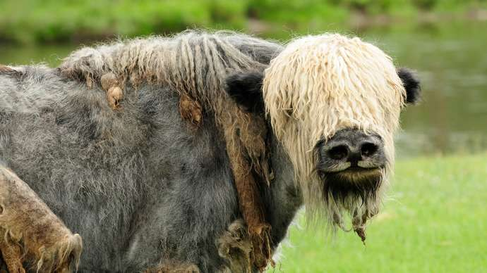 image for Toothless Yak Gums Food For Edentulous Granny