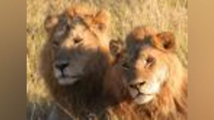 image for Trump Plans To Release Lions Along Mexican Border
