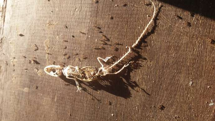 image for Gecko Eaten By Army Of Ants
