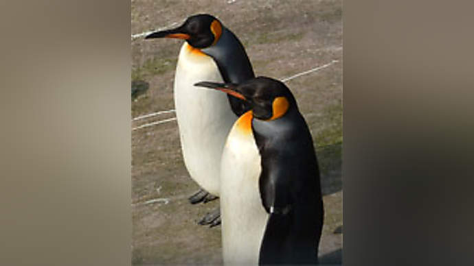 image for Penguins face extinction - humans could be next