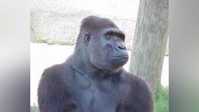 image for Gorillas are smarter than anyone thinks, say scientists