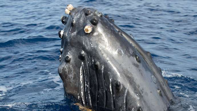 image for World's most hated whale safe from extinction