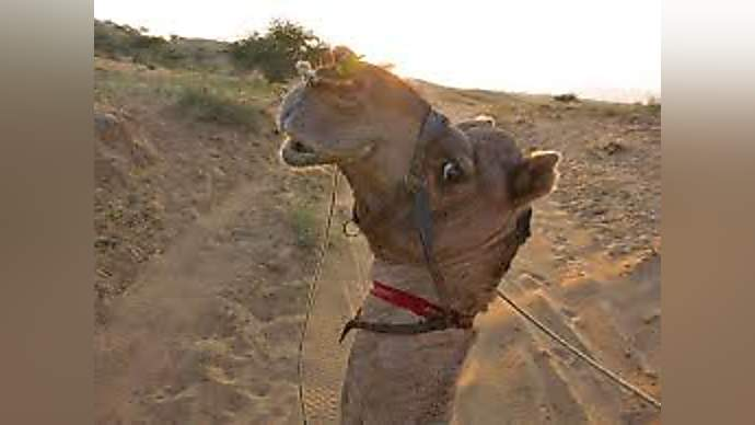 image for Spitting llama escapes from Liverpool zoo and is arrested in Manchester!
