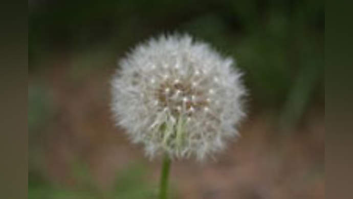 "image for Dandelions are ""A Bunch of Dicks"" Say Trees"