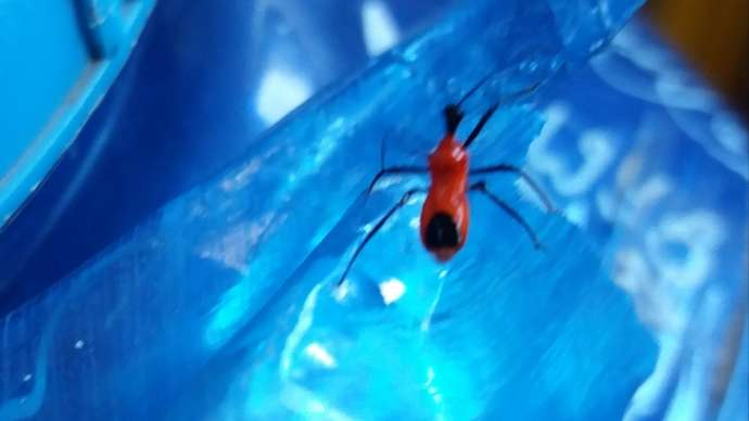 image for Giant Red Spider Crawled Over Man's Legs As He Took A Dump