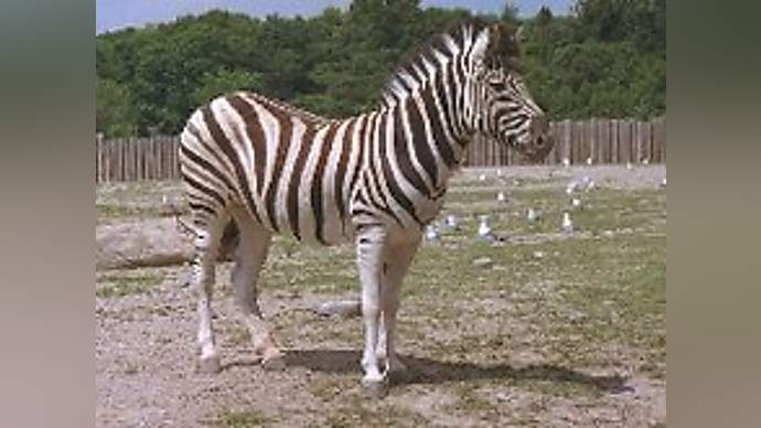 image for Lions Attack Zebras Again