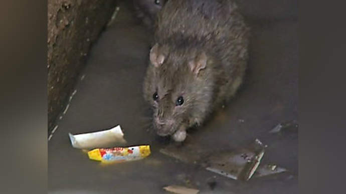 image for Rats Overrun Trump Tower