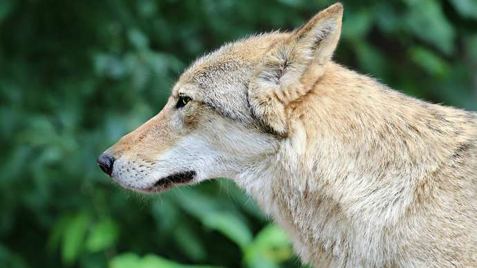 image for Feds Charge Symbicort's COPD Wolf with Misleading Advertising