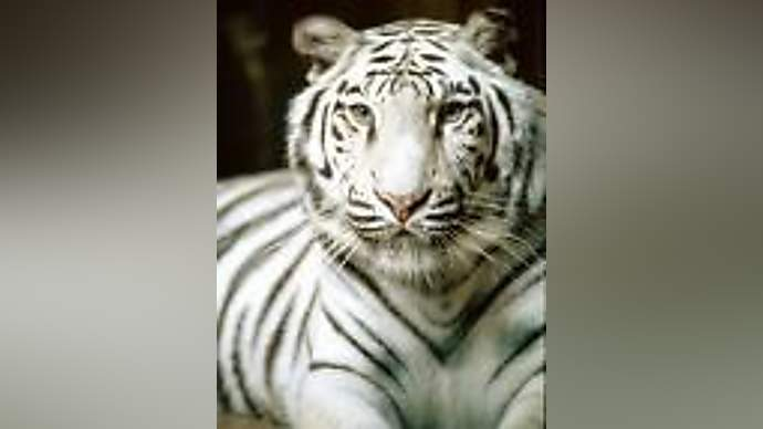 image for Actor Had His Face Chewed Off By Tiger Before The 9pm TV Watershed