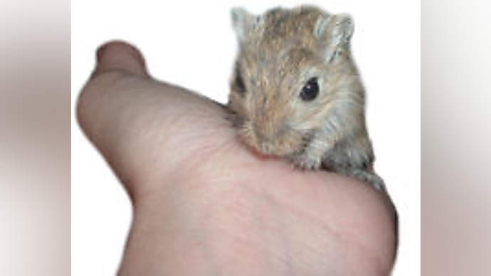 image for PETA Vows To Make Research Clinics Stop Forcing Hamsters To Smoke Marijuana