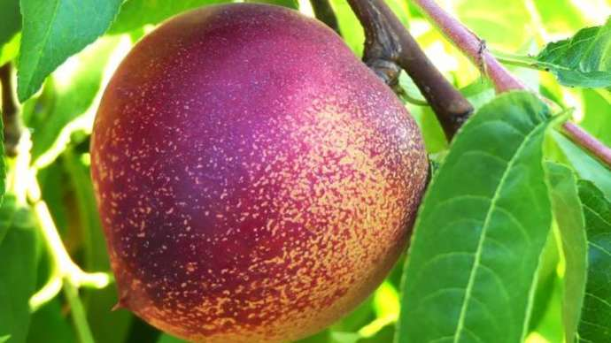 image for Unshaven Nectarine Fears Being Impeached
