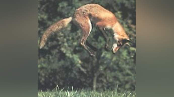 image for Britains foxes violated by invisible man!