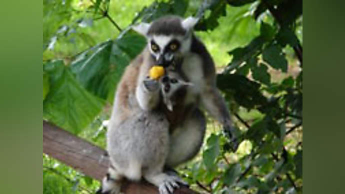 image for Greenhouse gases behind Tooting Common lemur find