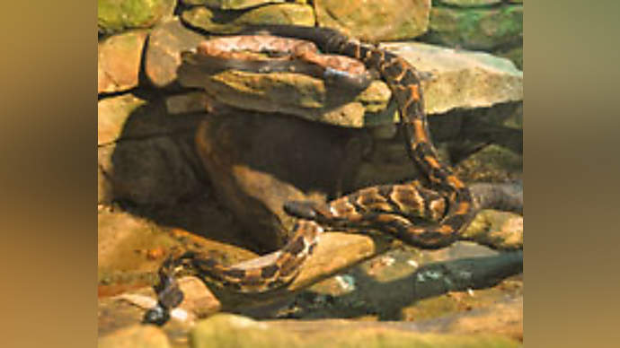 image for Interview With A Foul Mouthed Boa Constrictor