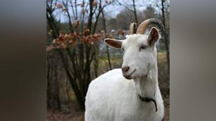 image for Ten More Favourite Goat Facts From Prince Constantin Ferdinand Maria of Liechtenstein