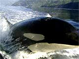 image for Shamu Tests Positive for Steroids