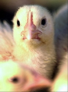 image for 36,000 Flu Deaths Won't Be from Bird Flu