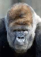 image for Rumsfeld Appoints Gorilla Head of Military Prisons