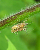 image for Monsanto Announces Accidental Cross Breeding of Boll Weevil and Chiggers.