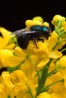 image for Killer Bees Responsible For Butterfly Extinction