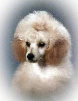"image for Scientific Study II: ""Poodles are Evil"""