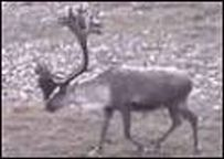 image for Rudolph the Red Nosed Reindeer Admits Taking Steroids
