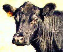 image for Pulped Campers - Victims of Cow Revenge Attack?