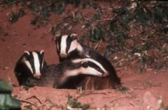 image for MPs pledge hedges for badgers