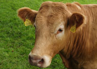 image for How Now Brown Cow?