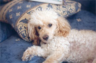image for A French Poodle In Colorado Accidentally Eats 5 Marijuana Joints
