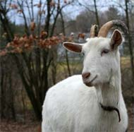 image for Goats start fire in Iowa