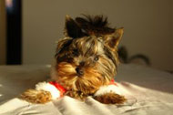 image for Yorkies Recover from 4th, Still Await Christmas
