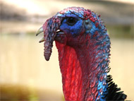 image for Abe the turkey rejects Obama's pardon