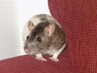 image for Rodent Elected as President of the United States