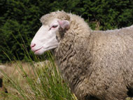 image for Carly Fiorina sheep-shagging video all the rage among Welsh Nationalists