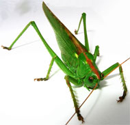 image for Rare Green Cricket Parasite, The Antigua Intestinal Attacker, Infects England's XI