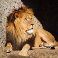 image for Lion Roams in Essex