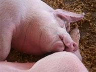 image for Good News - Cherie Blair Gets Swine Flu - Pigs Strike