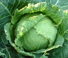 image for UK Facing Catastrophic Cabbage Shortages