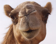 image for Camels banned from Arabian 'Camel Beauty contest' because they had face-lifts and Botox-ed humps!