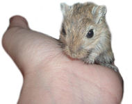 image for Adolescent sex can stunt growth and spark depression, according to study on hamsters